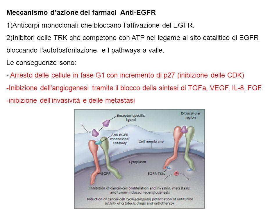 Meccanismo d'azione dei farmaci Anti-EGFR 1)Anticorpi monoclonali che bloccano l'attivazione del EGFR.