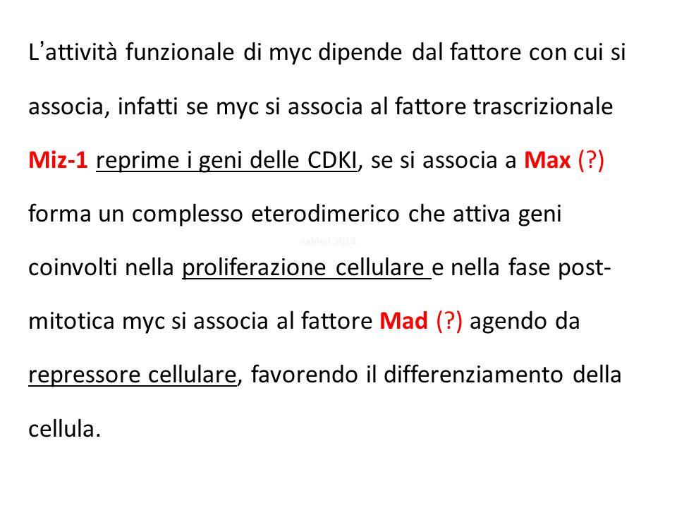 L'attività funzionale di myc dipende dal fattore con cui si associa, infatti se myc si associa al fattore trascrizionale Miz-1 reprime i geni delle CDKI, se si associa a Max (?) forma un complesso eterodimerico che attiva geni coinvolti nella proliferazione cellulare e nella fase post- mitotica myc si associa al fattore Mad (?) agendo da repressore cellulare, favorendo il differenziamento della cellula.