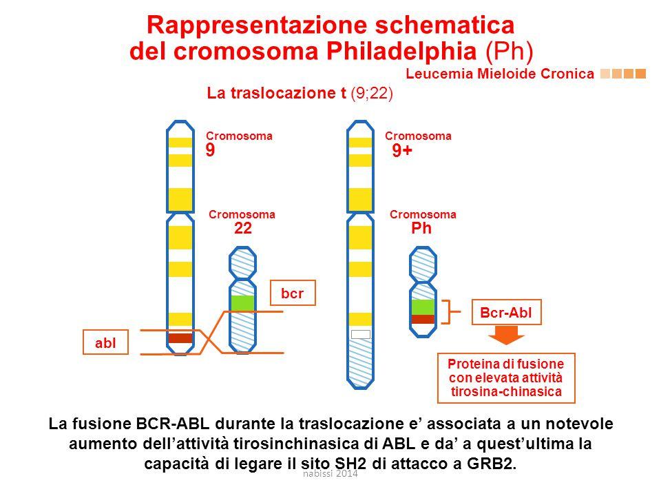 Rappresentazione schematica del cromosoma Philadelphia (Ph) Leucemia Mieloide Cronica La traslocazione t (9;22) Proteina di fusione con elevata attività tirosina-chinasica 22 bcr abl 9 Ph Bcr-Abl 9+ Cromosoma La fusione BCR-ABL durante la traslocazione e' associata a un notevole aumento dell'attività tirosinchinasica di ABL e da' a quest'ultima la capacità di legare il sito SH2 di attacco a GRB2.
