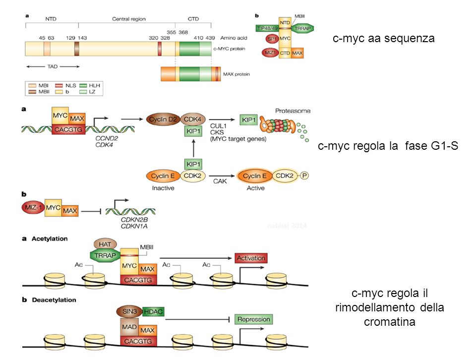 c-myc aa sequenza c-myc regola la fase G1-S c-myc regola il rimodellamento della cromatina nabissi 2014