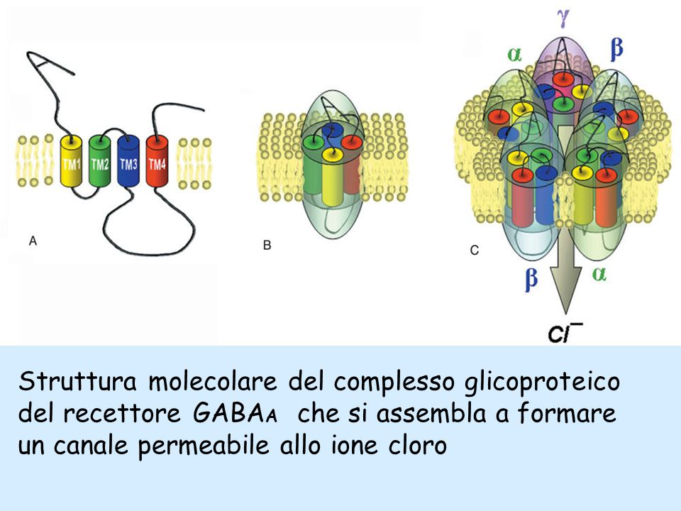 Struttura molecolare del complesso glicoproteico del recettore GABA A che si assembla a formare un canale permeabile allo ione cloro