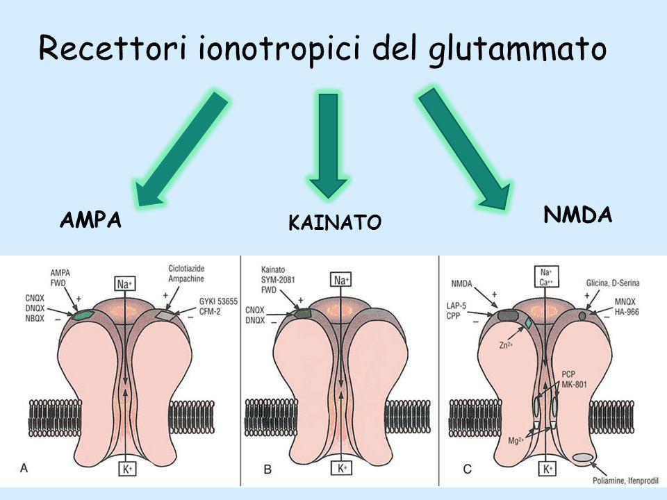 Recettori ionotropici del glutammato AMPA KAINATO NMDA