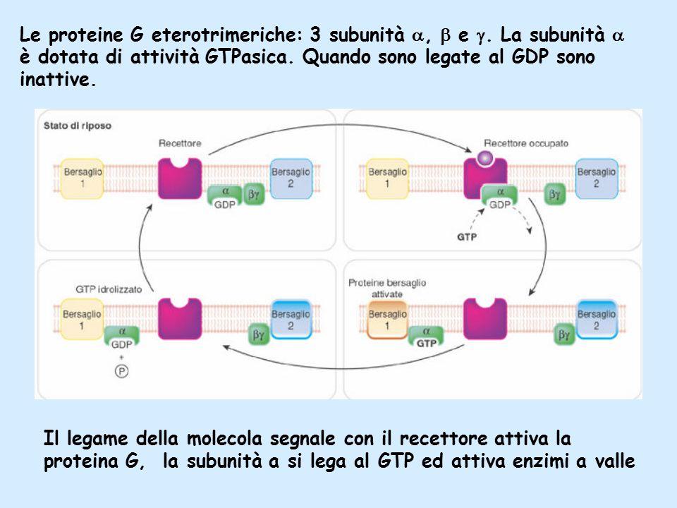 Le proteine G eterotrimeriche: 3 subunità ,  e .