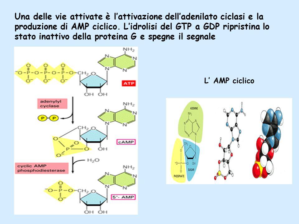 Una delle vie attivate è l'attivazione dell'adenilato ciclasi e la produzione di AMP ciclico.