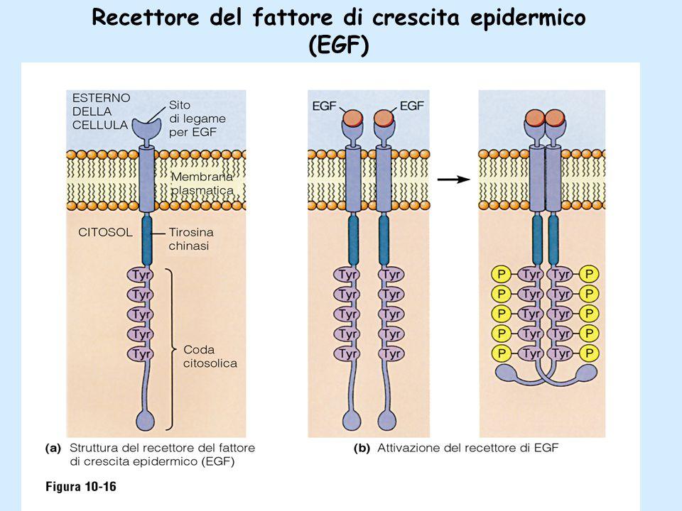 Recettore del fattore di crescita epidermico (EGF)