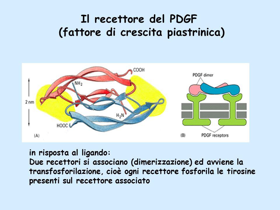 Il recettore del PDGF (fattore di crescita piastrinica) in risposta al ligando: Due recettori si associano (dimerizzazione) ed avviene la transfosforilazione, cioè ogni recettore fosforila le tirosine presenti sul recettore associato