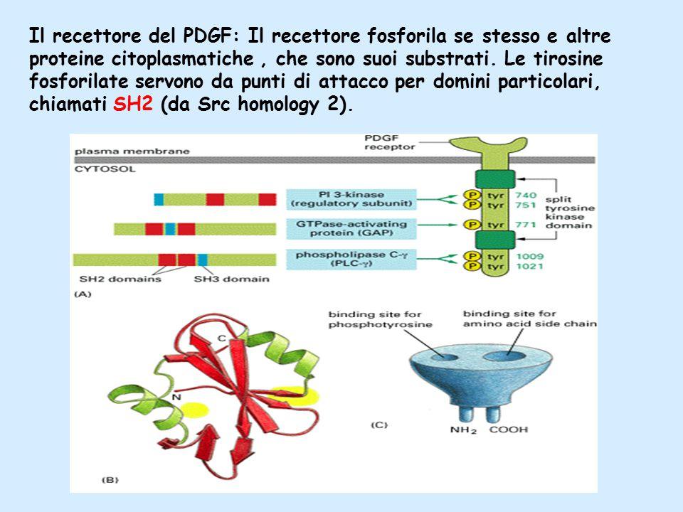 Il recettore del PDGF: Il recettore fosforila se stesso e altre proteine citoplasmatiche, che sono suoi substrati.
