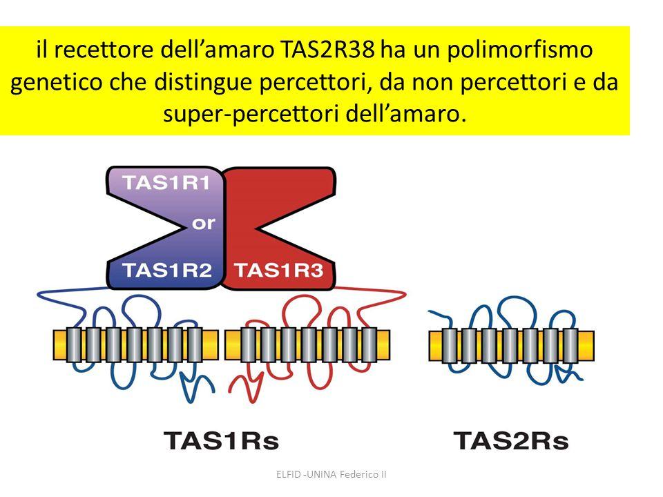il recettore dell'amaro TAS2R38 ha un polimorfismo genetico che distingue percettori, da non percettori e da super-percettori dell'amaro. ELFID -UNINA