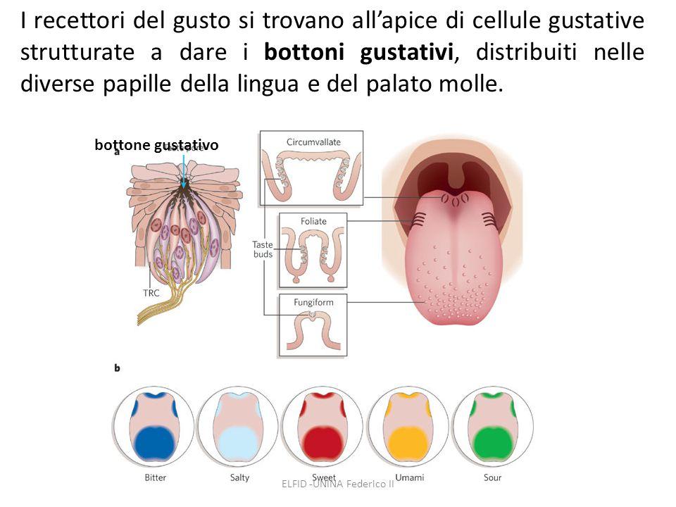 ELFID -UNINA Federico II I recettori del gusto si trovano all'apice di cellule gustative strutturate a dare i bottoni gustativi, distribuiti nelle div