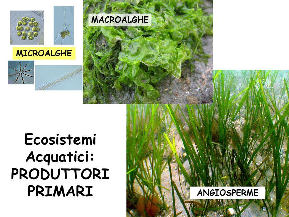 MACROALGHE ANGIOSPERME MICROALGHE Ecosistemi Acquatici: PRODUTTORI PRIMARI