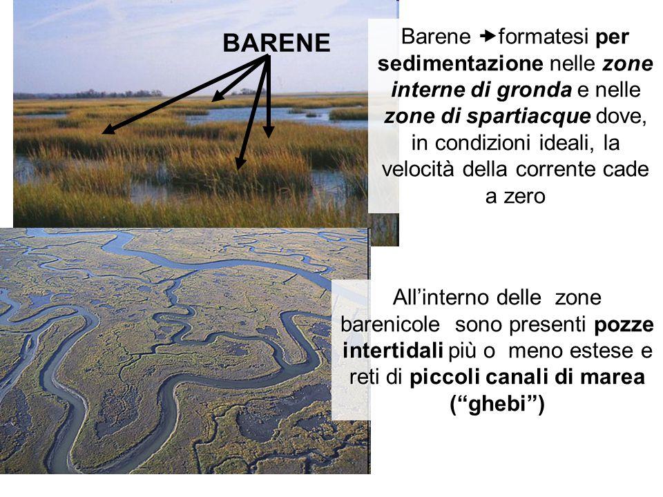 BARENE Barene  formatesi per sedimentazione nelle zone interne di gronda e nelle zone di spartiacque dove, in condizioni ideali, la velocità della co