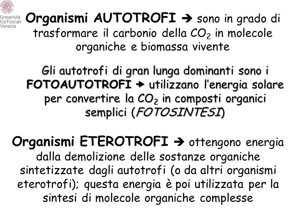 Organismi AUTOTROFI  sono in grado di trasformare il carbonio della CO 2 in molecole organiche e biomassa vivente Gli autotrofi di gran lunga dominan