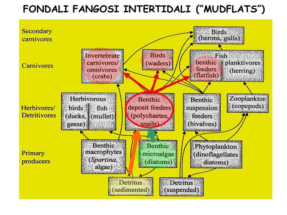 "FONDALI FANGOSI INTERTIDALI (""MUDFLATS"")"