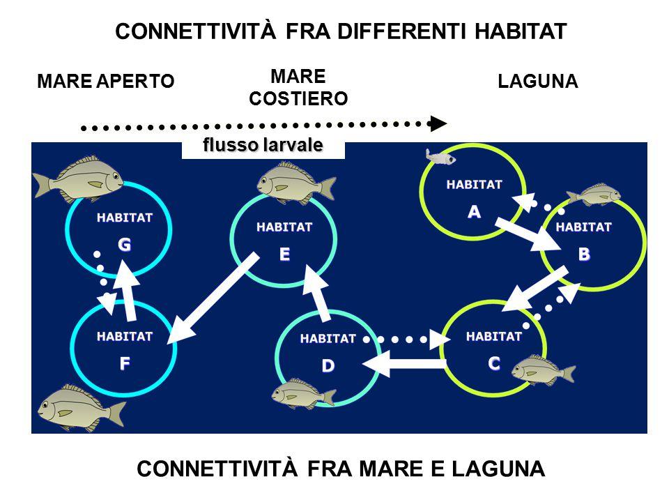 MARE APERTO MARE COSTIERO LAGUNA Larval flow CONNETTIVITÀ FRA DIFFERENTI HABITAT CONNETTIVITÀ FRA MARE E LAGUNA flusso larvale