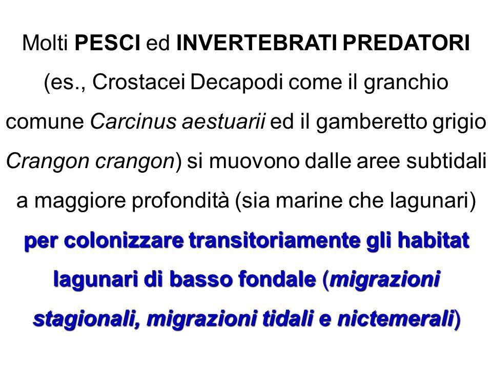 Molti PESCI ed INVERTEBRATI PREDATORI (es., Crostacei Decapodi come il granchio comune Carcinus aestuarii ed il gamberetto grigio Crangon crangon) si