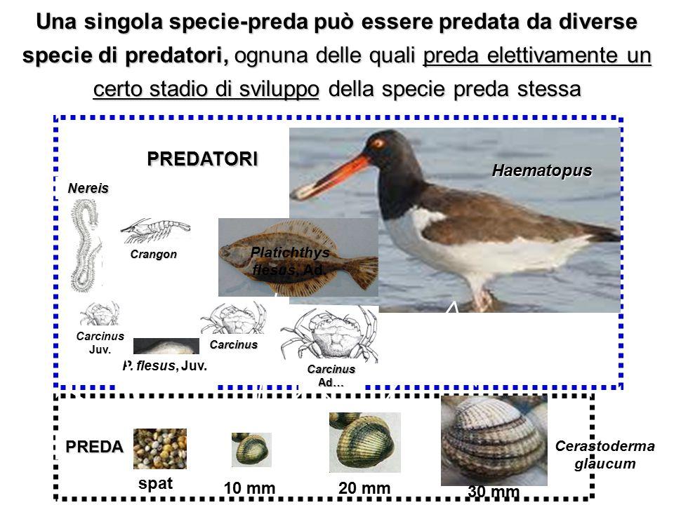 Haematopus Platichthys flesus, Ad. P. flesus, Juv. Carcinus Juv. Carcinus Carcinus Ad… Crangon Nereis spat 10 mm 30 mm 20 mm PREDA PREDATORI Una singo