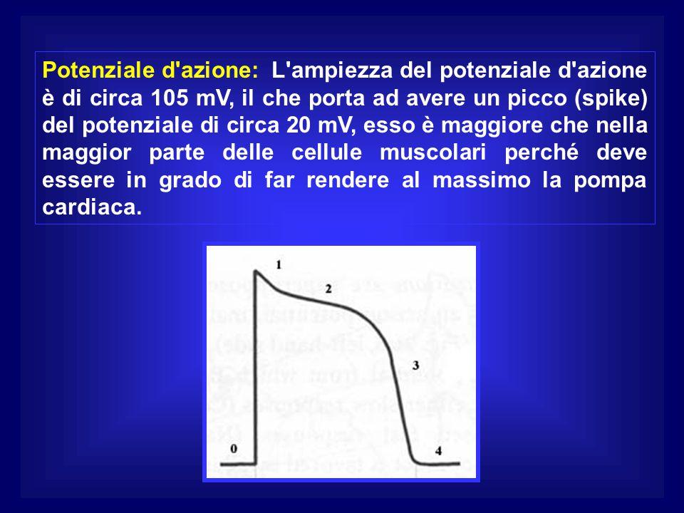 Potenziale d'azione: L'ampiezza del potenziale d'azione è di circa 105 mV, il che porta ad avere un picco (spike) del potenziale di circa 20 mV, esso