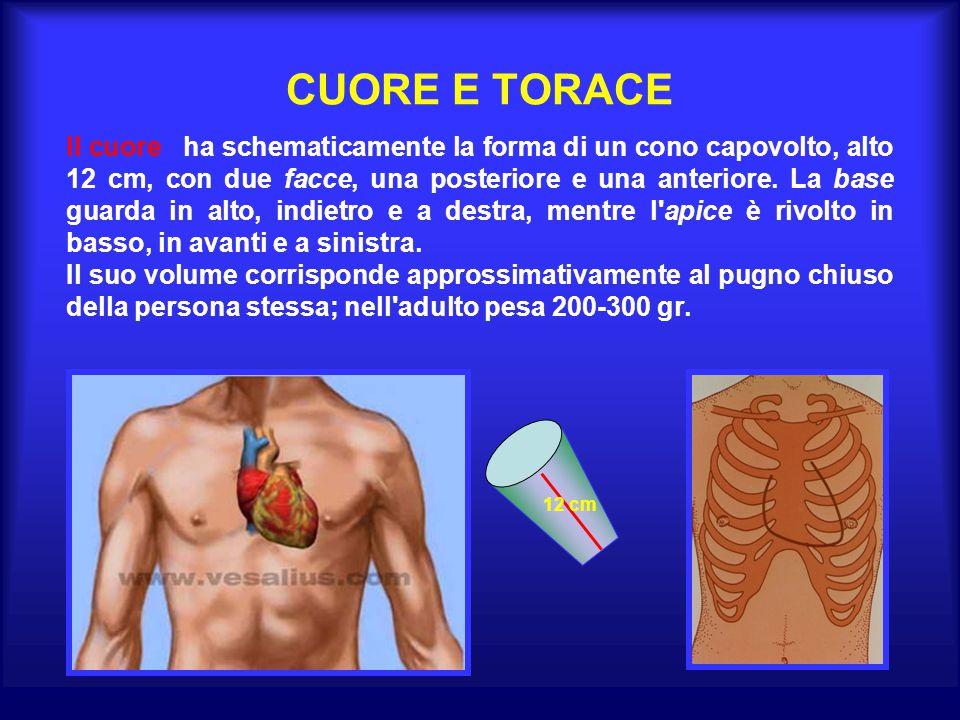 CUORE E TORACE Il cuore ha schematicamente la forma di un cono capovolto, alto 12 cm, con due facce, una posteriore e una anteriore. La base guarda in