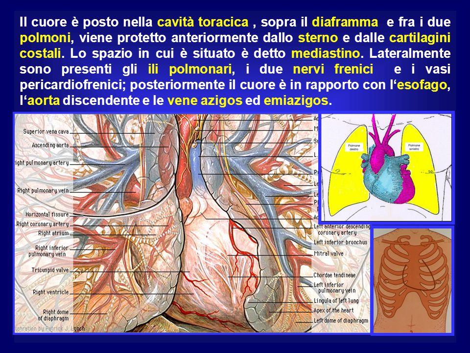 Il cuore è posto nella cavità toracica, sopra il diaframma e fra i due polmoni, viene protetto anteriormente dallo sterno e dalle cartilagini costali.
