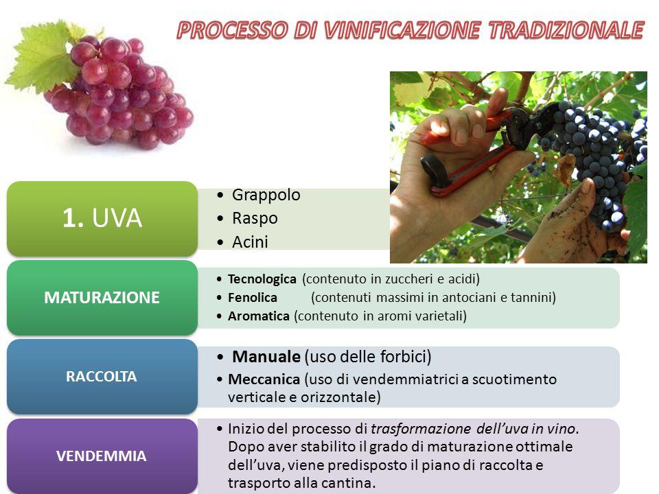 Grappolo Raspo Acini 1. UVA Tecnologica (contenuto in zuccheri e acidi) Fenolica (contenuti massimi in antociani e tannini) Aromatica (contenuto in ar