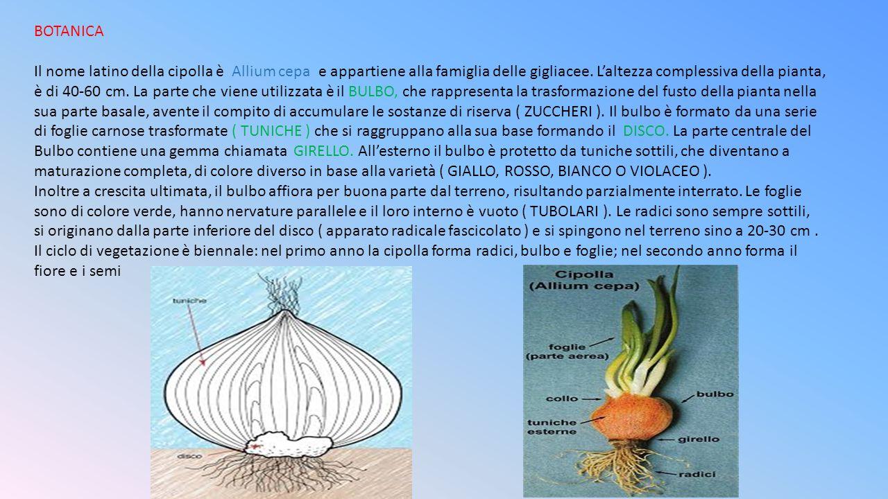 BOTANICA Il nome latino della cipolla è Allium cepa e appartiene alla famiglia delle gigliacee. L'altezza complessiva della pianta, è di 40-60 cm. La