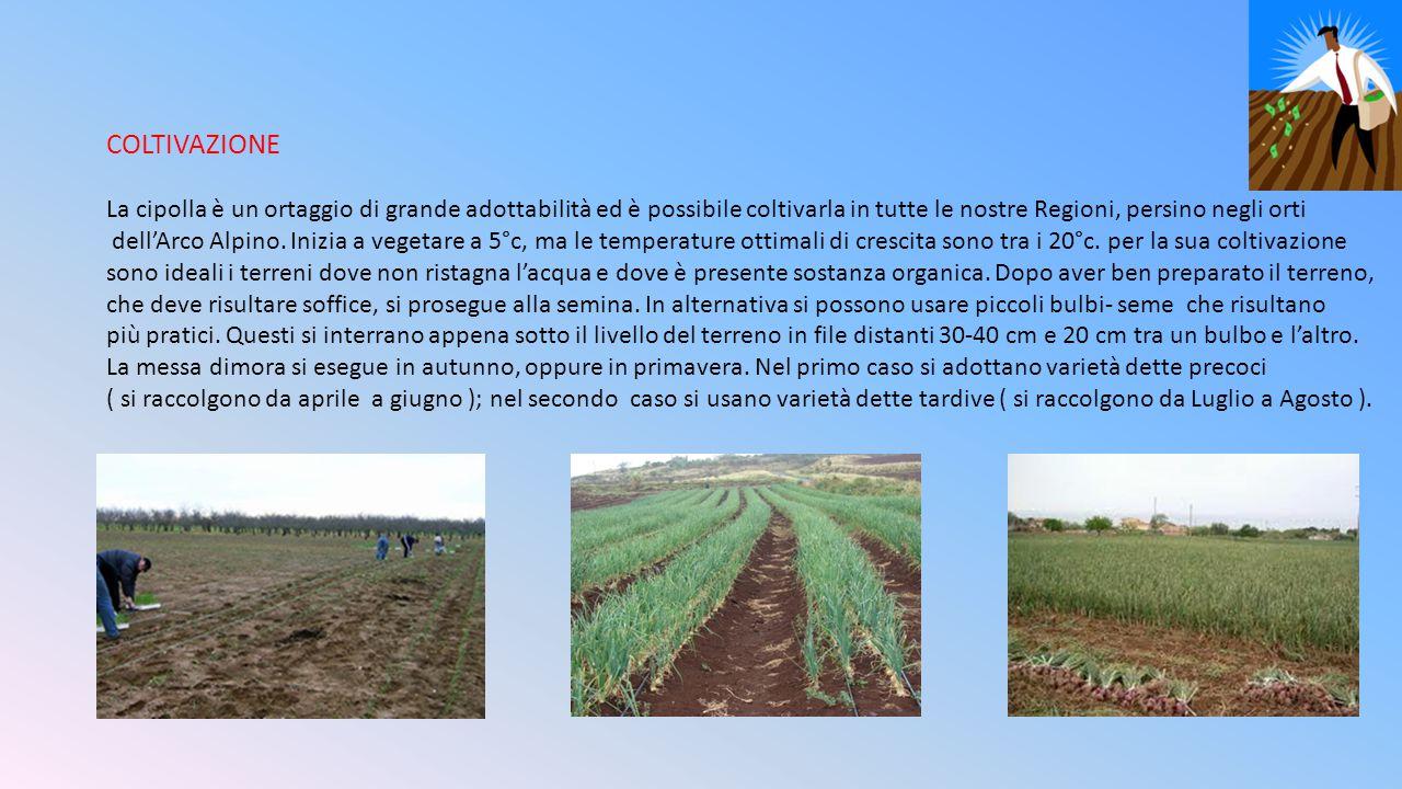 COLTIVAZIONE La cipolla è un ortaggio di grande adottabilità ed è possibile coltivarla in tutte le nostre Regioni, persino negli orti dell'Arco Alpino.