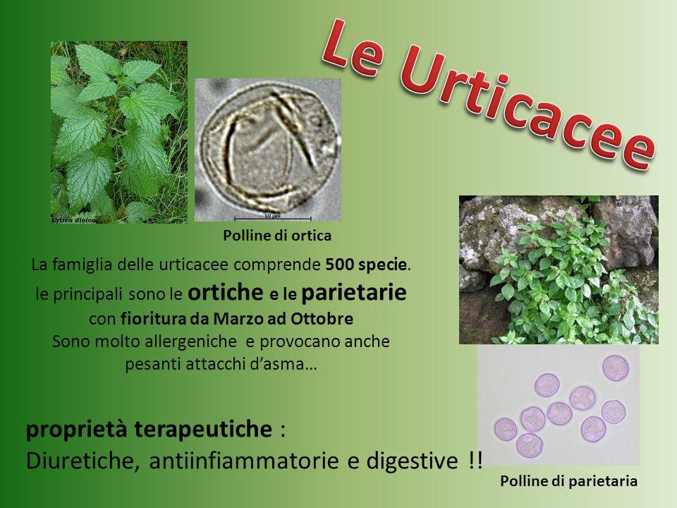 La famiglia delle urticacee comprende 500 specie. le principali sono le ortiche e le parietarie con fioritura da Marzo ad Ottobre Sono molto allergeni
