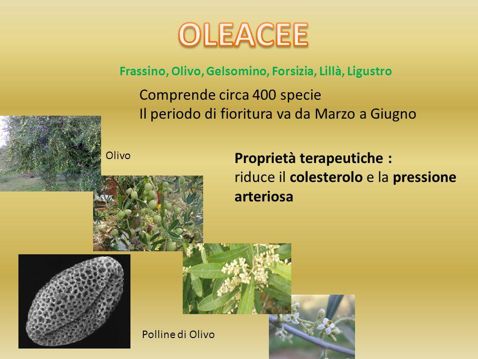 Frassino, Olivo, Gelsomino, Forsizia, Lillà, Ligustro Comprende circa 400 specie Il periodo di fioritura va da Marzo a Giugno Olivo Polline di Olivo P