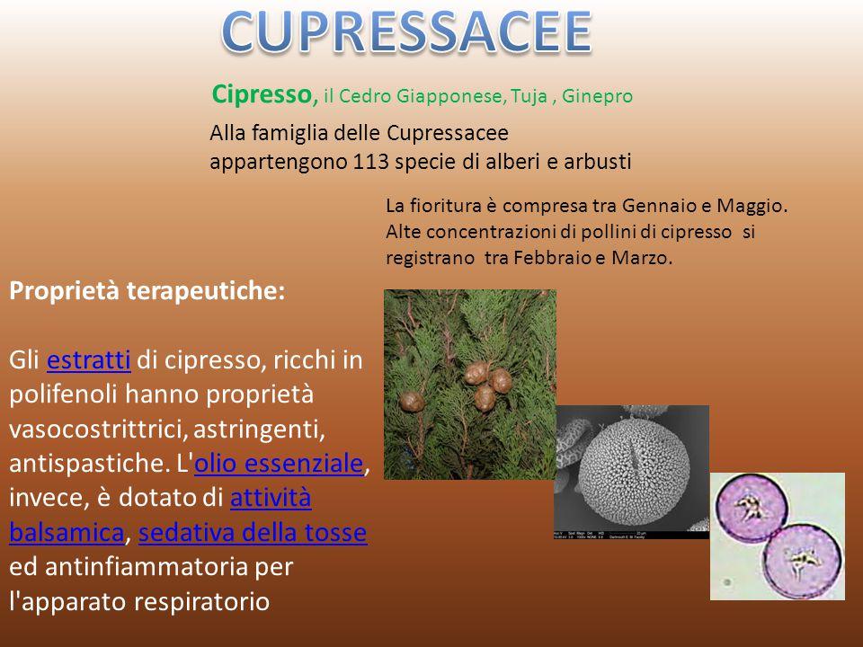 Cipresso, il Cedro Giapponese, Tuja, Ginepro Alla famiglia delle Cupressacee appartengono 113 specie di alberi e arbusti La fioritura è compresa tra G