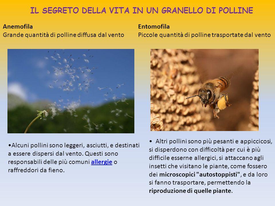 IL SEGRETO DELLA VITA IN UN GRANELLO DI POLLINE Altri pollini sono più pesanti e appiccicosi, si disperdono con difficoltà per cui è più difficile ess