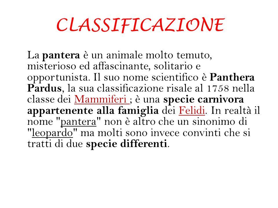 CLASSIFICAZIONE La pantera è un animale molto temuto, misterioso ed affascinante, solitario e opportunista. Il suo nome scientifico è Panthera Pardus,