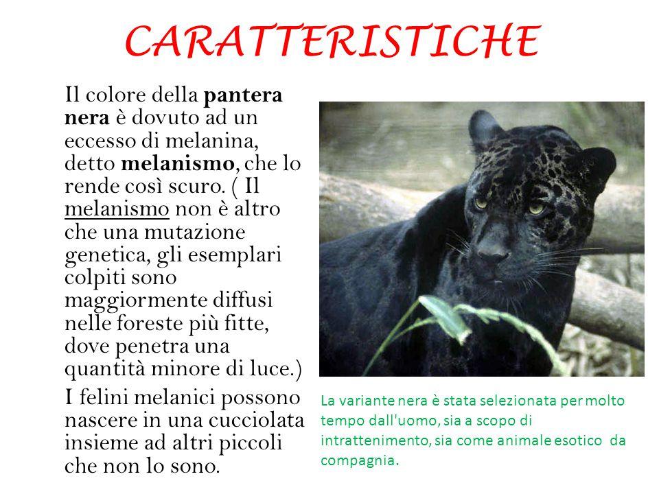 CARATTERISTICHE Il colore della pantera nera è dovuto ad un eccesso di melanina, detto melanismo, che lo rende così scuro. ( Il melanismo non è altro