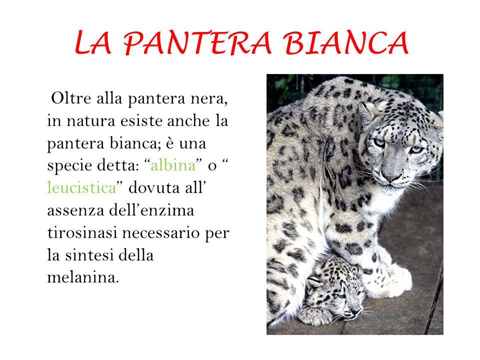 """LA PANTERA BIANCA Oltre alla pantera nera, in natura esiste anche la pantera bianca; è una specie detta: """"albina"""" o """" leucistica"""" dovuta all' assenza"""