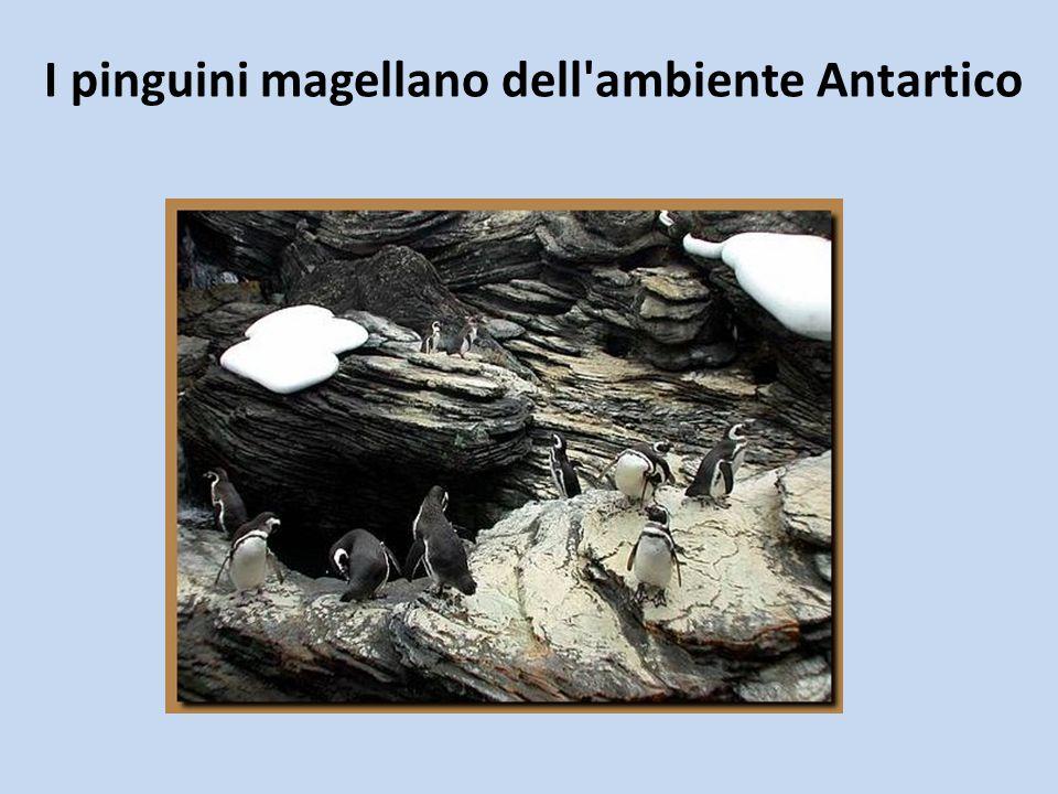 I pinguini magellano dell'ambiente Antartico