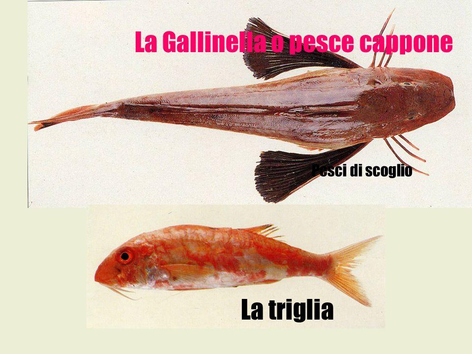 La Gallinella o pesce cappone La triglia Pesci di scoglio
