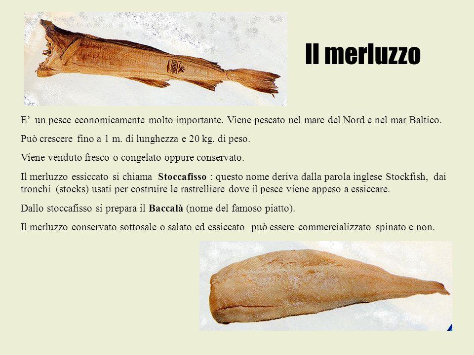 Il merluzzo E' un pesce economicamente molto importante. Viene pescato nel mare del Nord e nel mar Baltico. Può crescere fino a 1 m. di lunghezza e 20