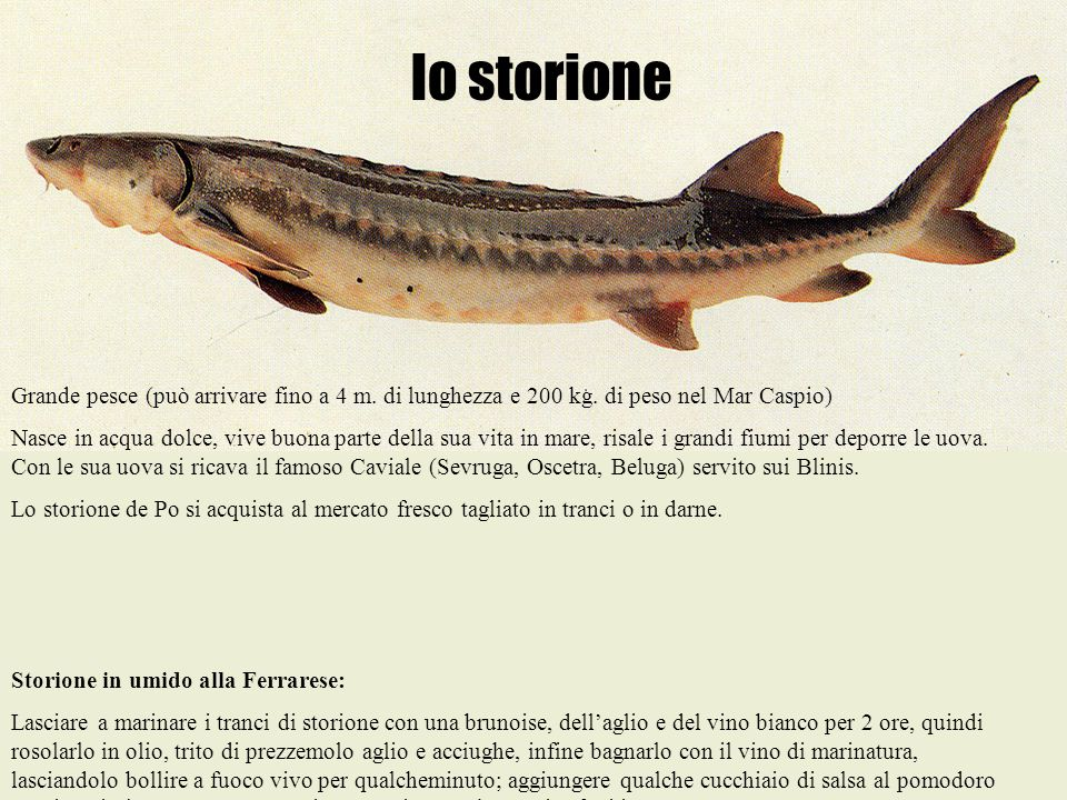 lo storione Grande pesce (può arrivare fino a 4 m. di lunghezza e 200 kg. di peso nel Mar Caspio) Nasce in acqua dolce, vive buona parte della sua vit