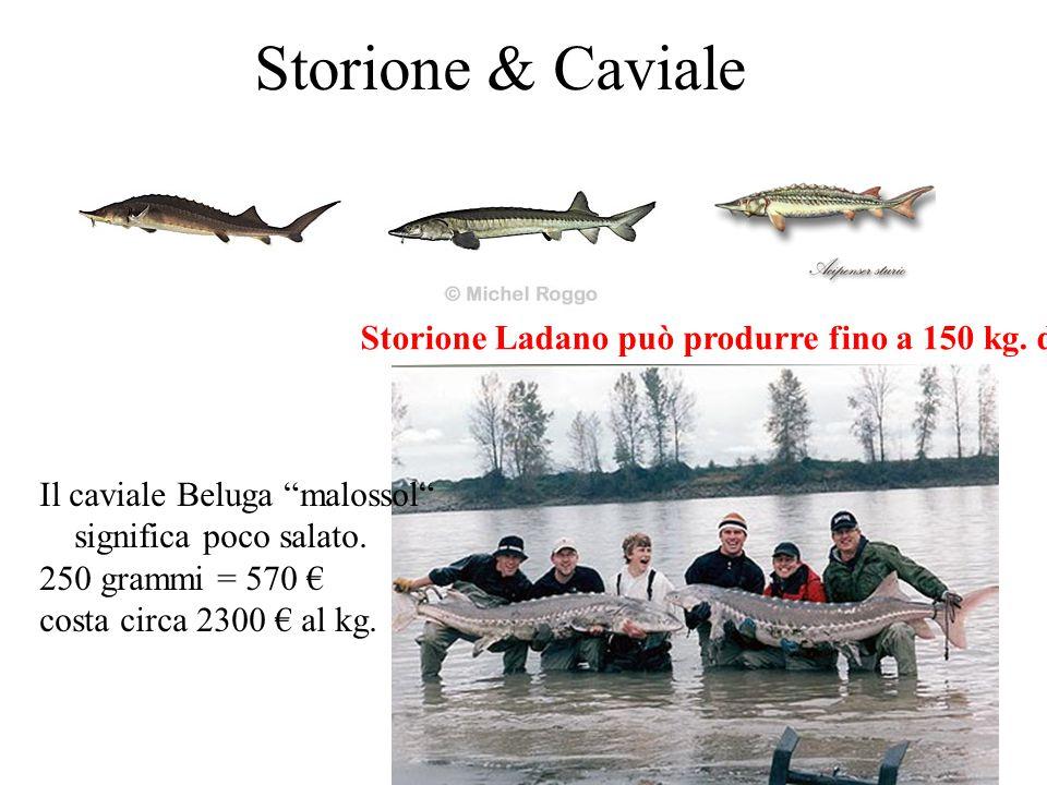 """Storione & Caviale Storione Ladano può produrre fino a 150 kg. di caviale Il caviale Beluga """"malossol"""" significa poco salato. 250 grammi = 570 € costa"""