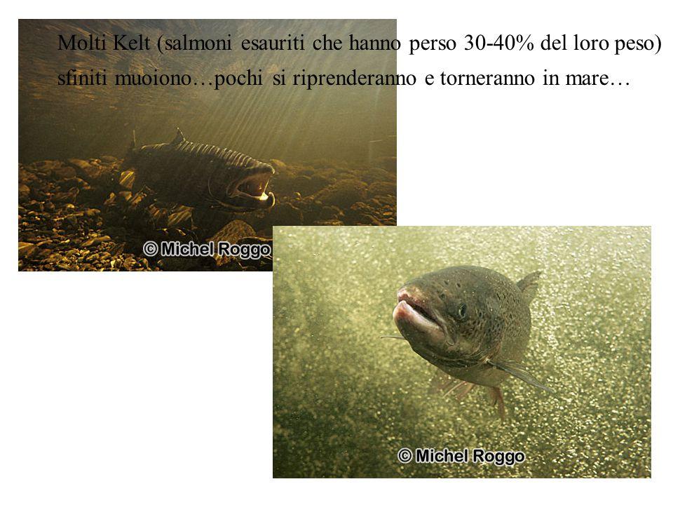 Molti Kelt (salmoni esauriti che hanno perso 30-40% del loro peso) sfiniti muoiono…pochi si riprenderanno e torneranno in mare…
