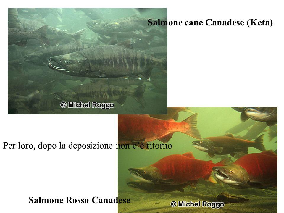 Salmone Rosso Canadese Salmone cane Canadese (Keta) Per loro, dopo la deposizione non c'è ritorno