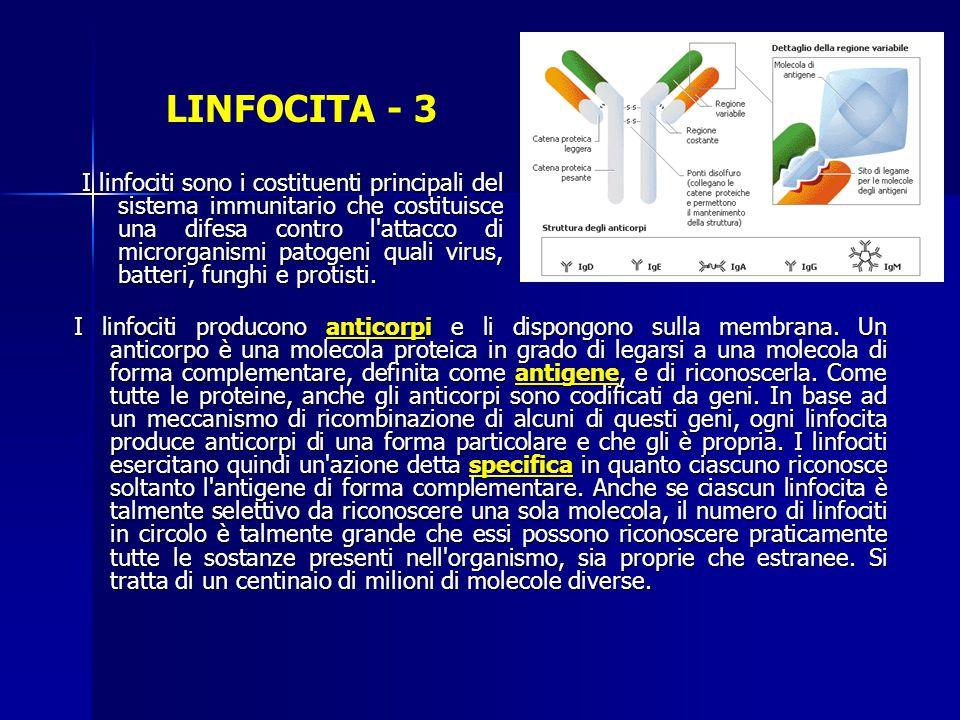LINFOCITA - 3 I linfociti producono anticorpi e li dispongono sulla membrana. Un anticorpo è una molecola proteica in grado di legarsi a una molecola