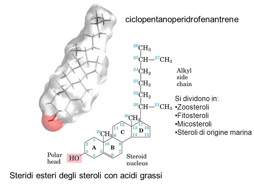 Steridi esteri degli steroli con acidi grassi ciclopentanoperidrofenantrene Si dividono in: Zoosteroli Fitosteroli Micosteroli Steroli di origine mari