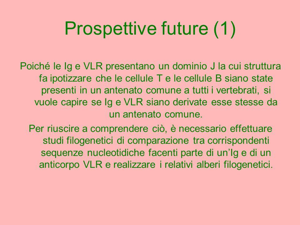 Prospettive future (1) Poiché le Ig e VLR presentano un dominio J la cui struttura fa ipotizzare che le cellule T e le cellule B siano state presenti in un antenato comune a tutti i vertebrati, si vuole capire se Ig e VLR siano derivate esse stesse da un antenato comune.