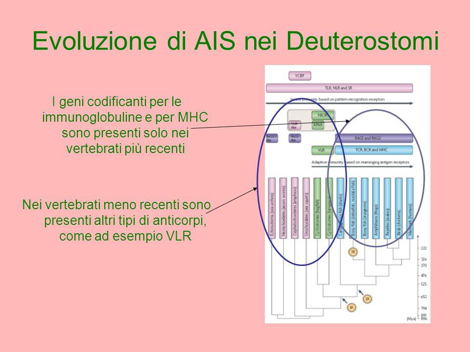I geni codificanti per le immunoglobuline e per MHC sono presenti solo nei vertebrati più recenti Nei vertebrati meno recenti sono presenti altri tipi di anticorpi, come ad esempio VLR Evoluzione di AIS nei Deuterostomi