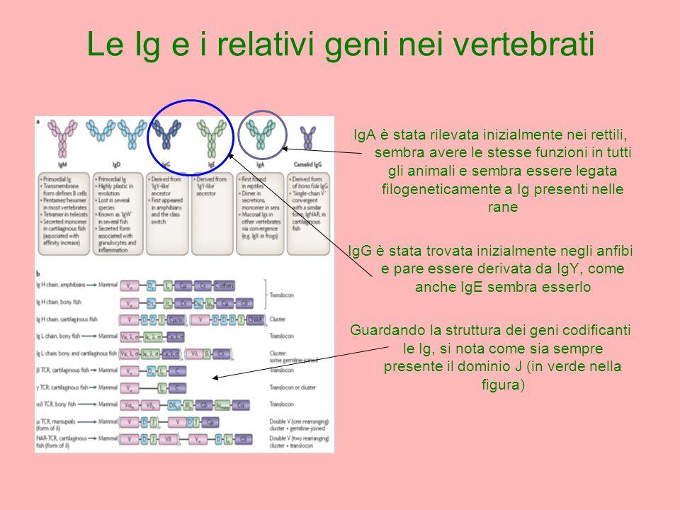 IgA è stata rilevata inizialmente nei rettili, sembra avere le stesse funzioni in tutti gli animali e sembra essere legata filogeneticamente a Ig presenti nelle rane IgG è stata trovata inizialmente negli anfibi e pare essere derivata da IgY, come anche IgE sembra esserlo Guardando la struttura dei geni codificanti le Ig, si nota come sia sempre presente il dominio J (in verde nella figura) Le Ig e i relativi geni nei vertebrati