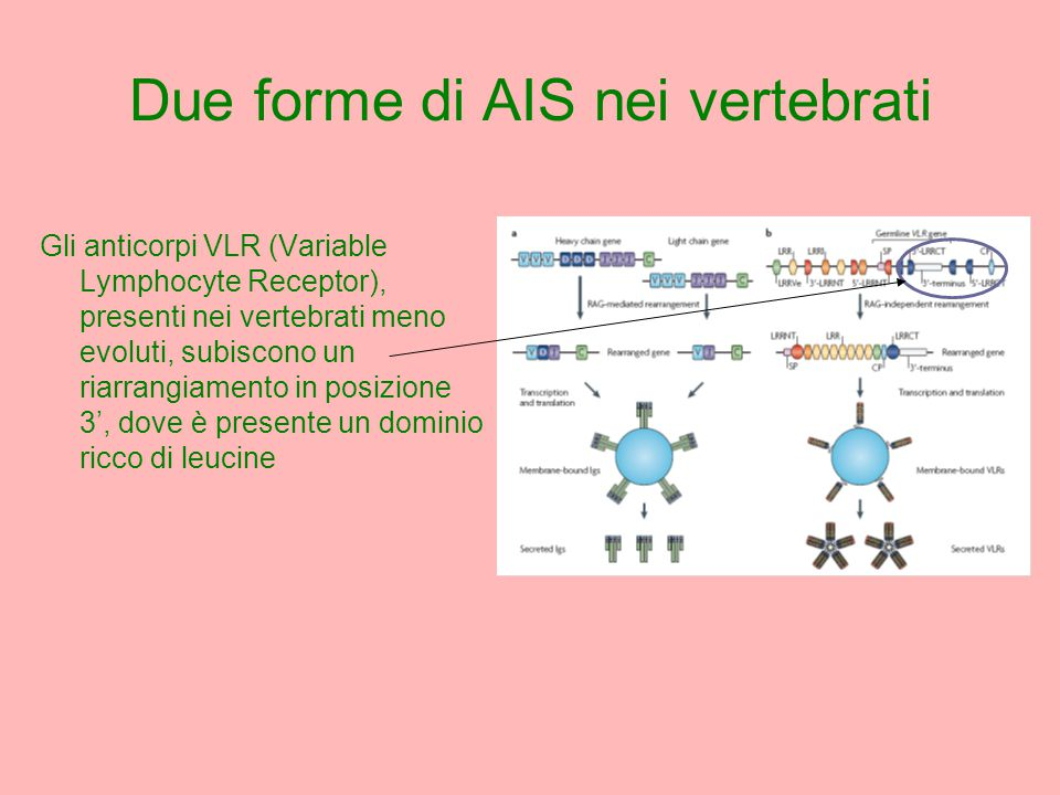 Gli anticorpi VLR (Variable Lymphocyte Receptor), presenti nei vertebrati meno evoluti, subiscono un riarrangiamento in posizione 3', dove è presente