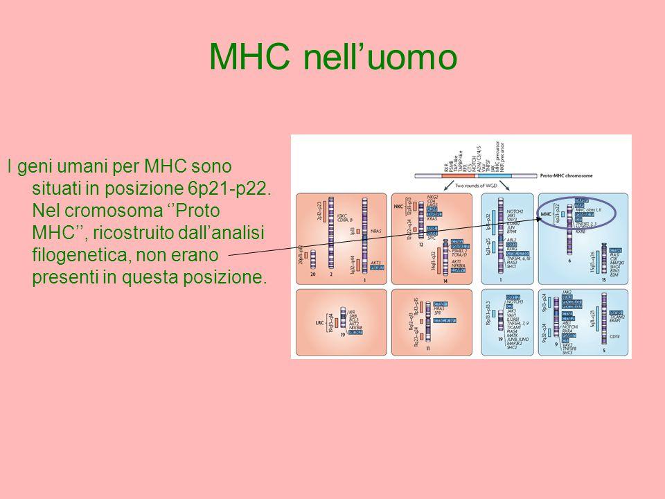 I geni umani per MHC sono situati in posizione 6p21-p22.