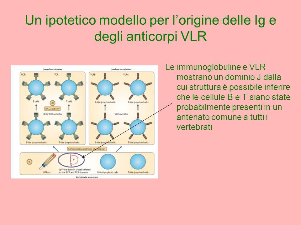 Le immunoglobuline e VLR mostrano un dominio J dalla cui struttura è possibile inferire che le cellule B e T siano state probabilmente presenti in un antenato comune a tutti i vertebrati Un ipotetico modello per l'origine delle Ig e degli anticorpi VLR