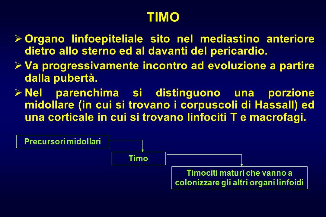 TIMO  Organo linfoepiteliale sito nel mediastino anteriore dietro allo sterno ed al davanti del pericardio.