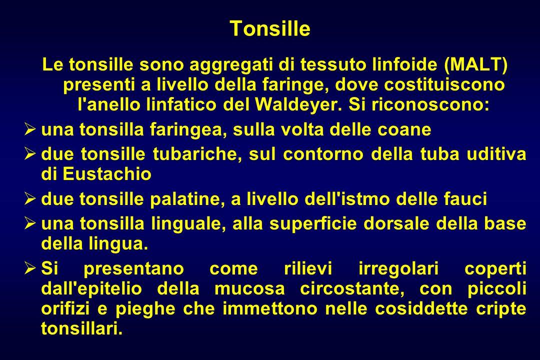 Tonsille Le tonsille sono aggregati di tessuto linfoide (MALT) presenti a livello della faringe, dove costituiscono l anello linfatico del Waldeyer.